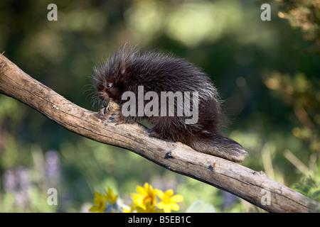 Baby porcupine (Erethizon dorsatum) in captivity, Animals of Montana, Bozeman, Montana, USA, North America - Stock Photo