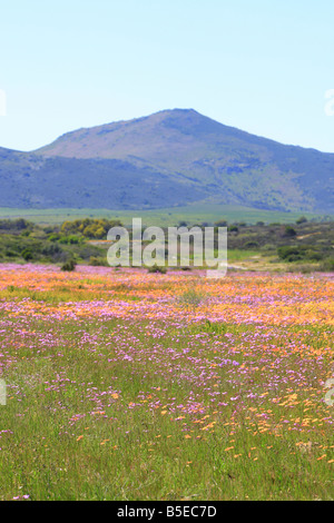 Meadow Flowers - Groote Post Wine Estate , Darling , Western Cape , South Africa - Stock Photo
