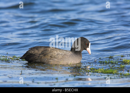 Eurasian Coot Fulica atra swimming at Cheddar Reservoir, Somerset in October. - Stock Photo