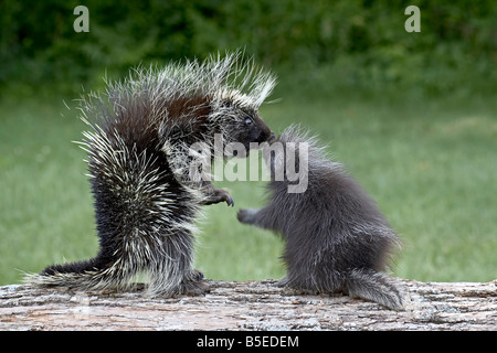 Porcupine (Erethizon dorsatum) in captitvity, mother and young face to face, Sandstone, Minnesota, USA - Stock Photo