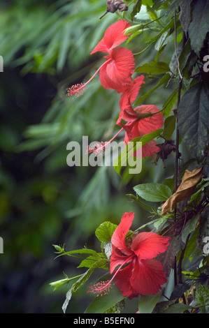 Single red hibiscus flowers produced on a tropical shrub - Stock Photo