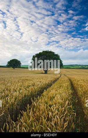 Trees in a crop field near Chawleigh Mid Devon England - Stock Photo