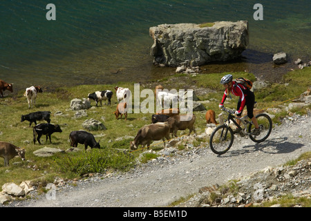 Mountainbike rider passing a cow herd - Stock Photo