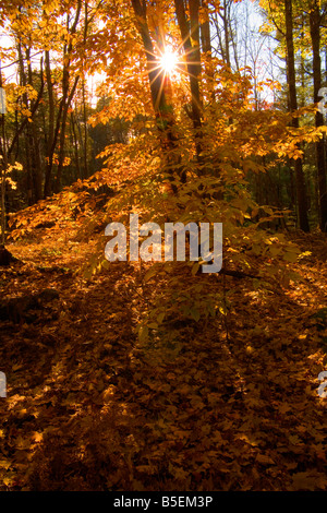 The autumn sun shines through the brightly colored leaves of a deciduous tree, with fallen leaves carpeting the - Stock Photo