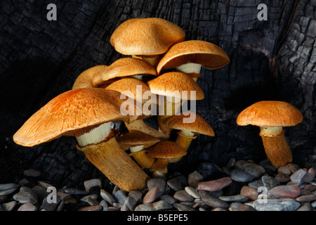 Gymnopilus spectabilis fungi a member of the order Corinariales (family Crepidoceaea) growing out of burnt tree. - Stock Photo