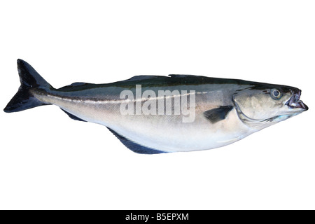 pollack, saithe, coalfish, Atlantic pollack, coley, Latin: Pollachius virens; caught in Iceland (cut-out) - Stock Photo