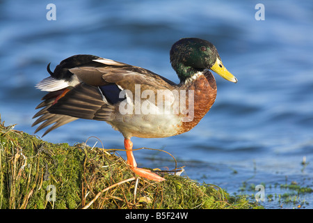 Mallard Anas platyrhynchos male perched and wing stretching at Cheddar Reservoir, Somerset in October. - Stock Photo