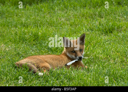 Red fox cub Vulpes vulpes playing with magpie feather - Stock Photo