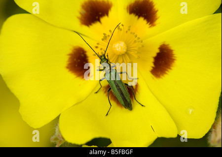 Female thick legged flower beetle Oedemera nobilis feeding on garden flower - Stock Photo