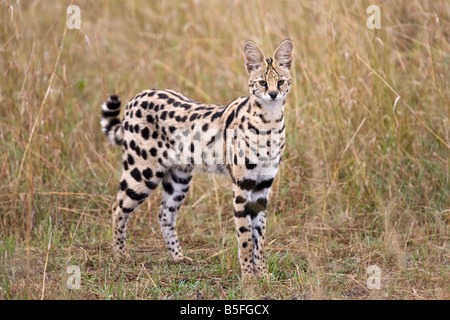 Male Serval Cat in long grass - Stock Photo