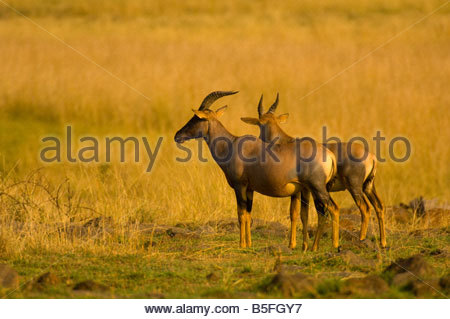 Topi Masai Mara National Reserve Kenya - Stock Photo