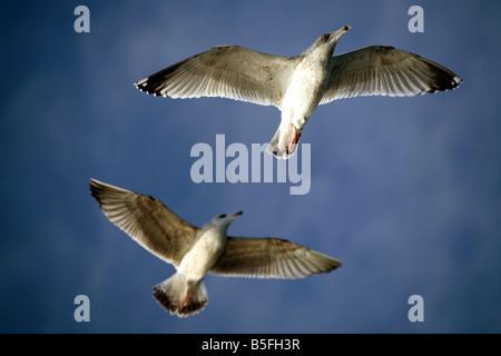 Flying seagulls - Stock Photo