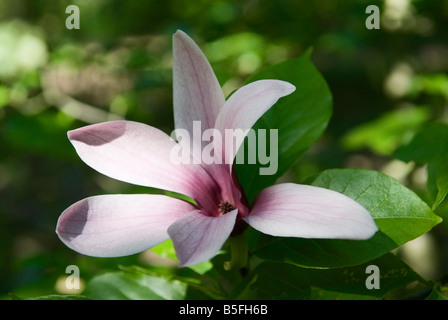 flowering flower Magnolia liliiflora Mulan magnolia Tulip magnolia or Lily magnolia - Stock Photo