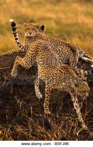 Cheetahs on mound Masai Mara National Reserve Kenya - Stock Photo
