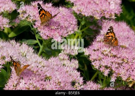 Painted Ladies nectaring on pink Sedum flowers - Stock Photo