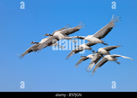 Red crowned cranes flying North China - Stock Photo