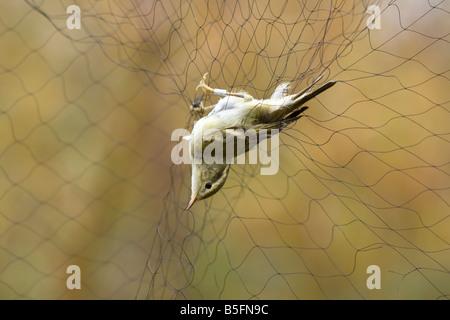 Yellow-browed Warbler Phylloscopus inornatus - Stock Photo