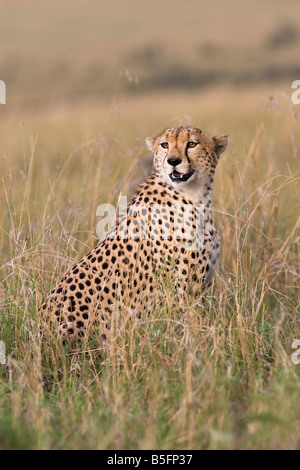 Cheetah in evening light - Stock Photo
