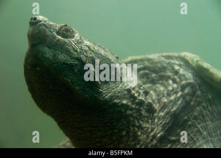 Head and neck detail of a large Snapping turtle as it gets ready to surface - Stock Photo