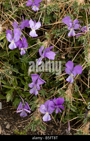 Mount Etna Violet pansy Viola aetnensis On Mt Etna Sicily - Stock Photo