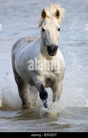Camargue horses running on marshland to cross the river France - Stock Photo