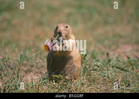 Portrait of a prairie dog Cynomys ludovicianus in a prairie dog town in Custer State Park - Stock Photo
