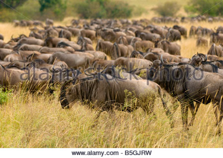 Herds of wildebeest arriving in Masai Mara National Reserve Kenya from Tanzania as part of the annual Great Migration - Stock Photo