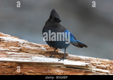 Steller's Jay Cyanocitta stelleri perched on log looking for food at Botanical Beach Port Renfrew Vancouver Island - Stock Photo