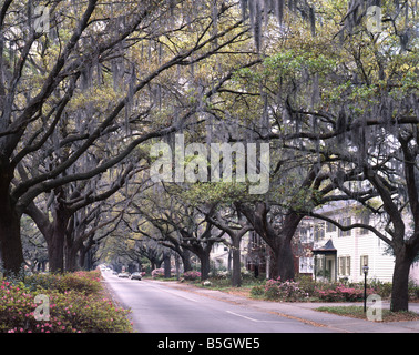 Live Oaks Lining a Residential Street - Stock Photo