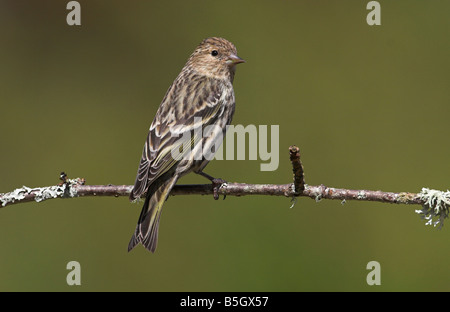 Pine Siskin Carduelis pinus perched on a small branch at Saanich Victoria Vancouver Island BC in April - Stock Photo