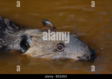Close up of the head of a Canadian Beaver swimming in a muddy creek Castor Canadensis Minnesota USA - Stock Photo