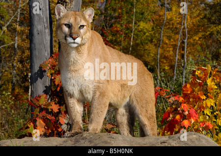Cougar staring while standing on a rock in an Autumn forest with red oak and maple leaves