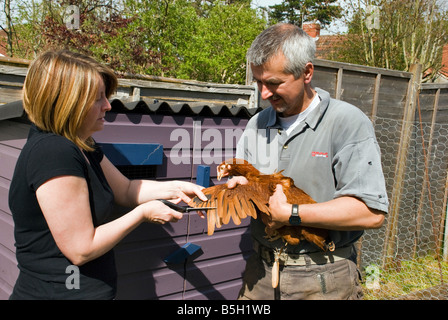 A man and woman clipping the wings of a young Rhode Star pullet (or chicken) with scissors to stop it flying away - Stock Photo