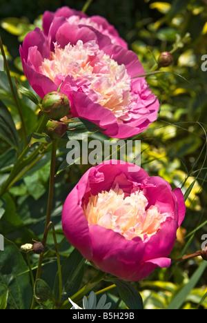 Two flowering peonies in June