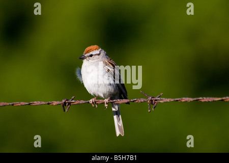 Male Chipping Sparrow spizella passerina perched on Barbed Wire - Stock Photo