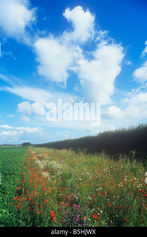 Field cultivated potatoes with wildlife-friendly margin up to Hawthorn hedge with poppies mallow Oxeye daisies under - Stock Photo