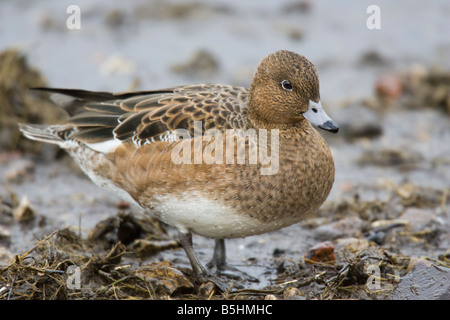 Female Eurasian Wigeon (Anas penelope) standing on mud - Stock Photo