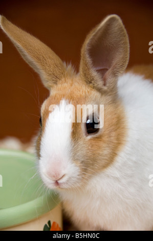 Young Alert Dutch Rabbit by Feeding Bowl - Stock Photo