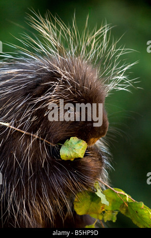 North American Porcupine snacks on a branch - controlled conditions - Stock Photo