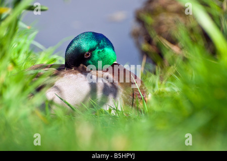 Close up shot of a male mallard duck resting with his head tucked in his feathers. Taken against a blurred grassy - Stock Photo