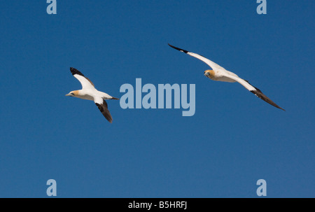 Cape Gannet Morus capensis Sula capensis in flight at colony on West Coast of Cape South Africa - Stock Photo