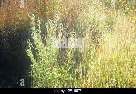 Close up of corner of summer evening pasture with backlit Spear thistle or Cirsium vulgare dry grasses and Common - Stock Photo