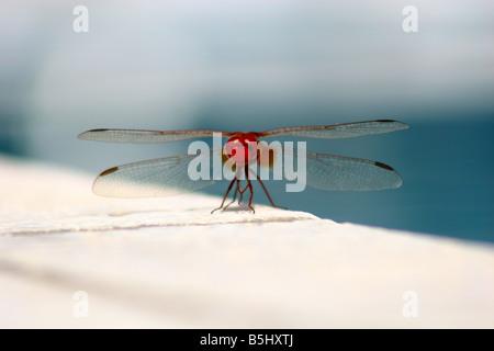 Scarlet dragonfly male Crocothemis erythraea - Stock Photo