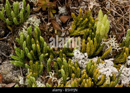 Alpine club moss Diphasiastrum alpinum Lycopodium alpinum with fertile fronds Scotland - Stock Photo
