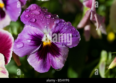 pansy violet flower - Stock Photo