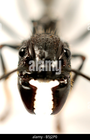 Isula or Bullet Ant Paraponera clavata ant