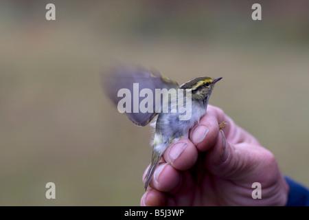 Pallas's Warbler Phylloscopus proregulus in the hand - Stock Photo