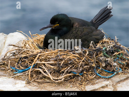 Shag (Phalacrocorax Aristotelis) - Farne Islands. The nest contains plastic and rope which could strangle or choke - Stock Photo