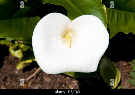Zantedeschia aethiopica `Crowborough` - Stock Photo
