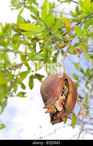 Cracked and rotten pomegranate hanging on tree - Stock Photo